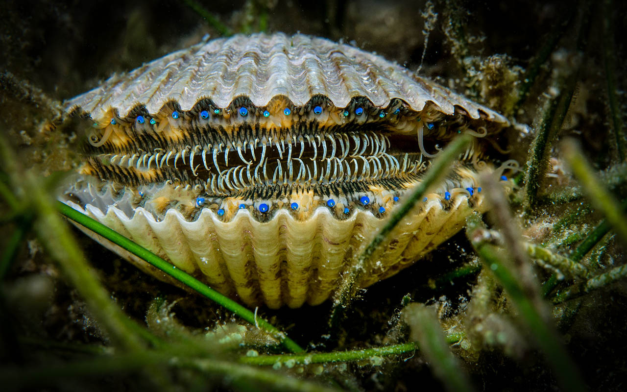 Image result for scallop animal